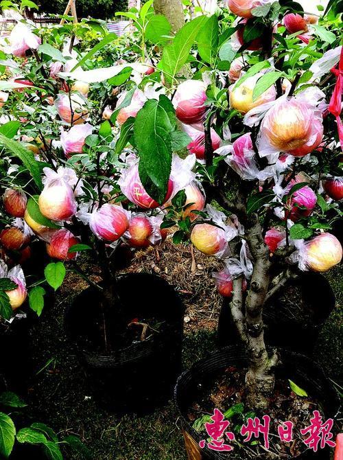 苹果树家里种看厌金钱树可买金钱兜